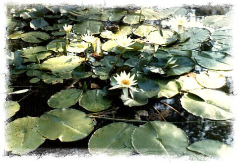 water lily, picture taken by Steve.